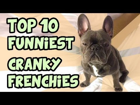 TOP 10 CRANKIEST FRENCH BULLDOGS