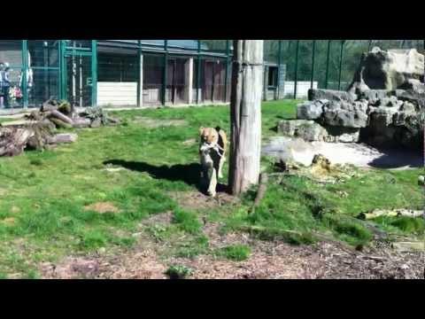 Lion feeding time at Blackpool Zoo
