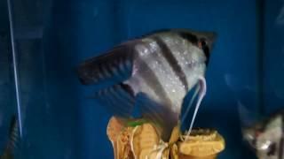 аквариумный бизнес, цены на аквариумных рыбок, Скалярия, Pterophyllum scalare