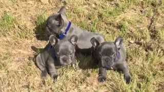 Blue French Bulldog Puppies For Sale.