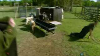 Mythbusters: Kari strips to try to make goats faint