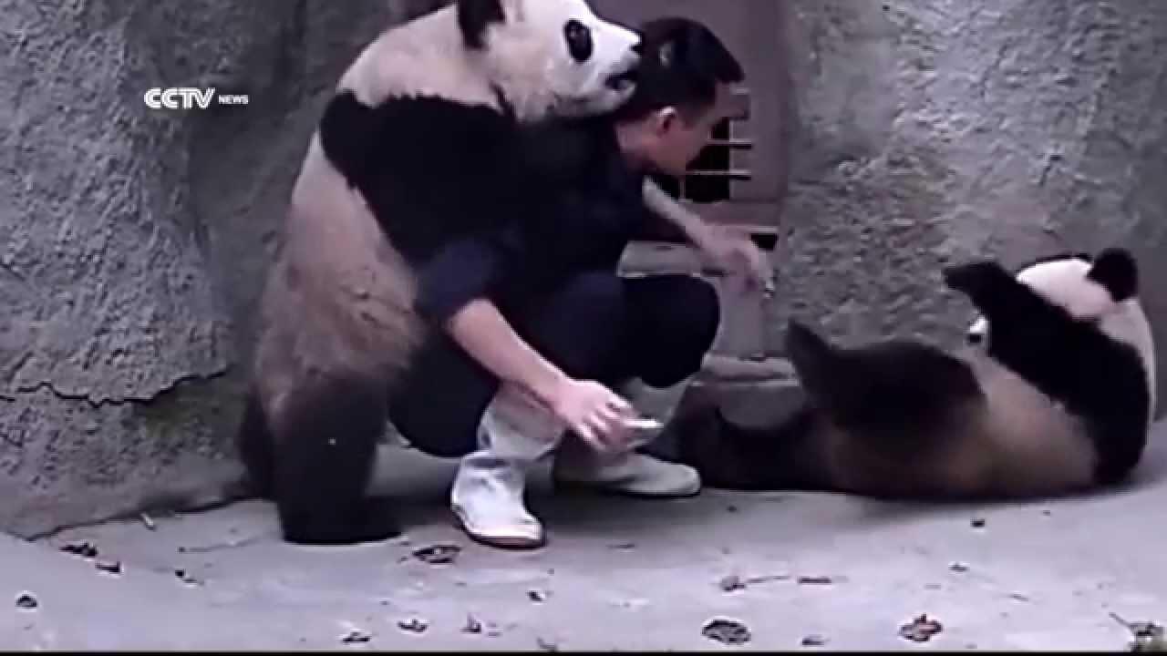 агрессивны ли панды