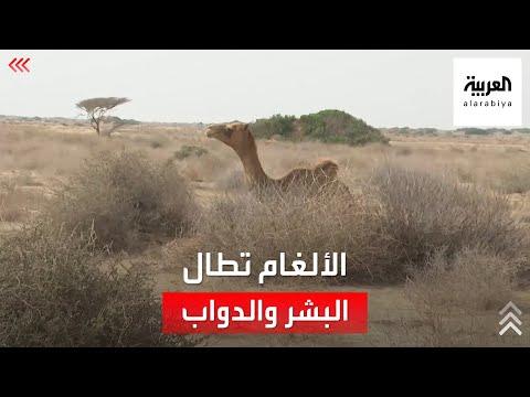 شاهد.. ألغام ميليشيات الحوثي تطال البشر ودوابهم  - نشر قبل 4 ساعة