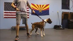 Tucson Dog Training - Before and After Boxer