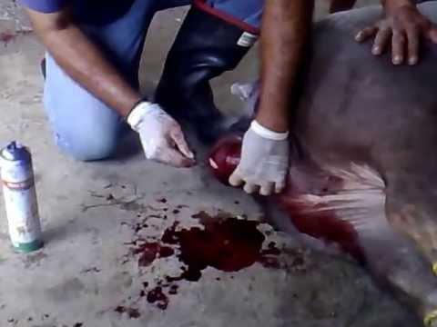 01052012153-003.mp4castracion de cerdo 250kg