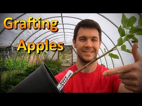 Grafting Apple Trees Onto Root Stock