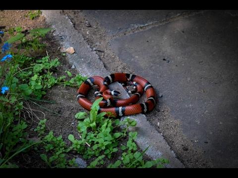 Vilniaus gyventojus pašiurpino ryški raudona gyvatė