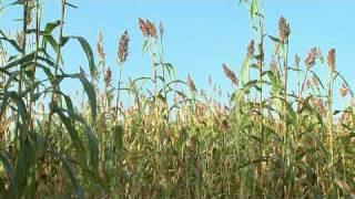 Growing sorghum crops for ethanol