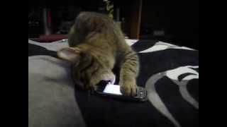 Кошка и телефон