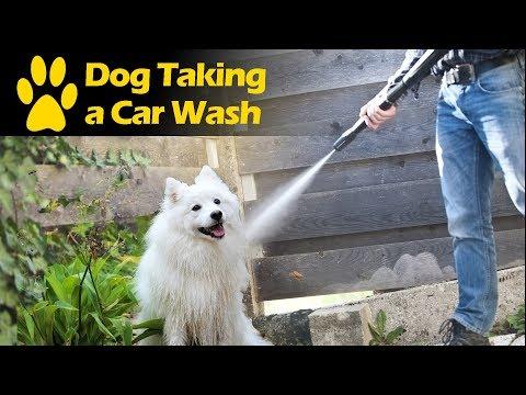 Spitz Dog Loves Pressure Washer Bathing