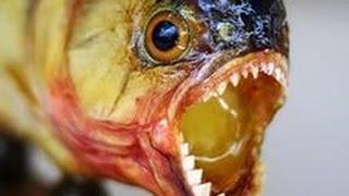 Аквазоопарк - хищная пиранья