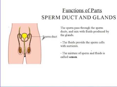Function of sperm