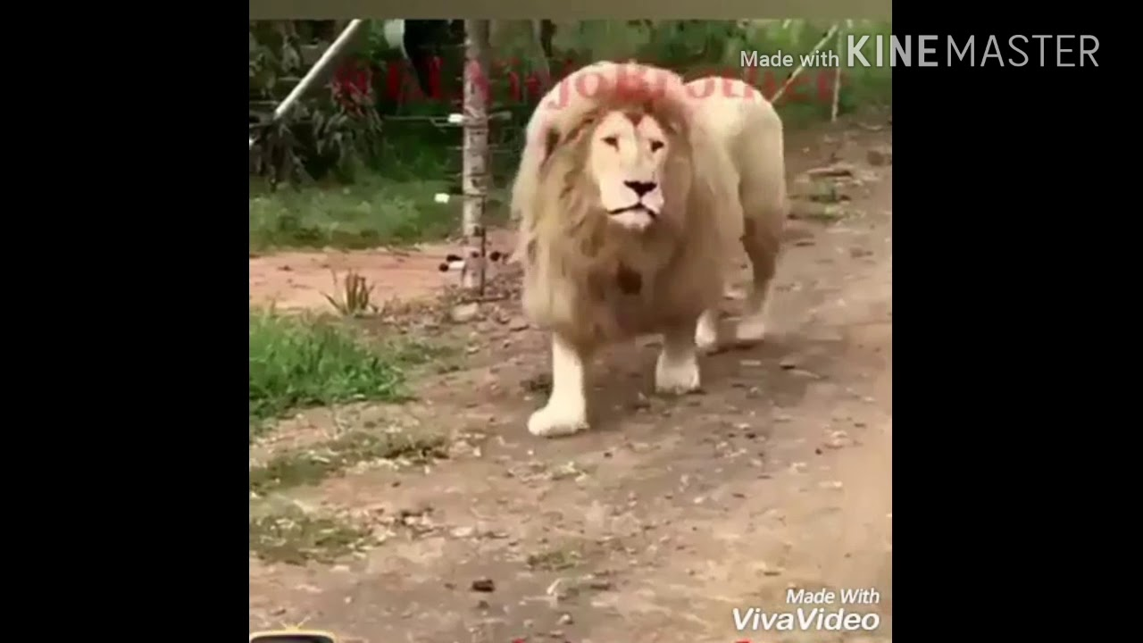 Lion selling fruits and vegetables (Funny Video)