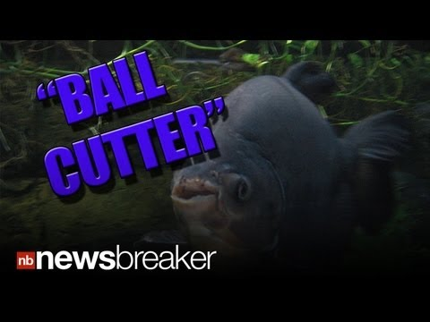 TESTICLE EATING FISH: The Pacu Has Migrated To America; Terrorizing Men In New Jersey