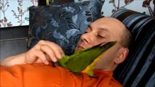 Сенегальский попугай Гоша целуется.
