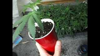 Clones ~ Transplanting in ONLY 12 days from cutting!!