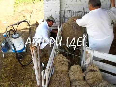 Видео дойка овец