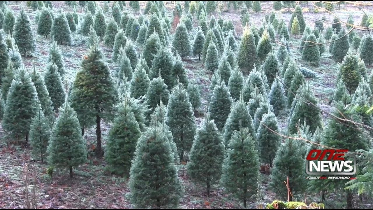 U-cut Christmas Tree Farm Rooted In Holiday Cheer