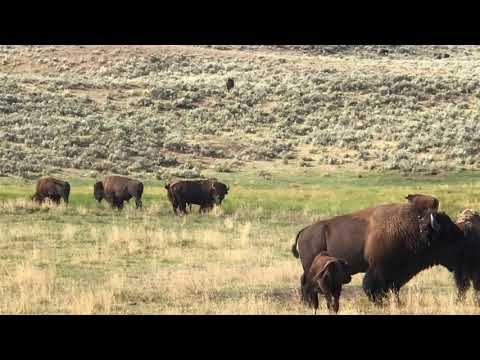 Yellowstone Bison and Coyotes Together