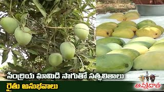 Success Story of Organic Mango Farmer | Good Results with Fruit Covers | మధుర మామిడి