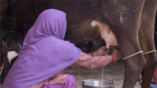 Indian Village - Rural woman milking a cow on her farm