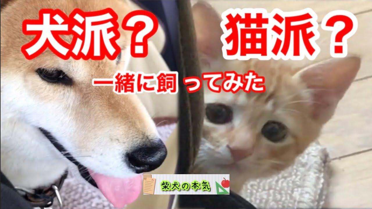 【柴犬】あなたは犬派?猫派?両方飼ってわかった犬猫の違いをお楽しみください!と思う柴犬の本気【茶虎猫】※クイズ超難問の季節です。