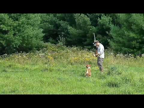 Obenstaat Kennels - French Brittany training on Quail