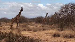 Najwyższe wśród żyraf - żyrafy masajskie - okolice Amboseli - Kenia - Afryka