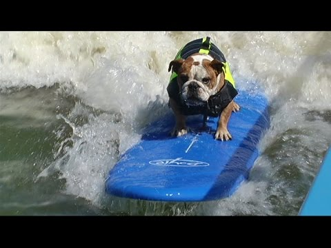 Surfing bulldog shows off skills in San Francisco