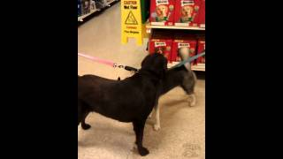 Luna The Husky: Intermediate Puppy Training At Petsmart