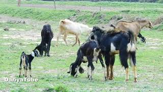 Animals Baby Cute Goat Find Successfully - Funny Goat Compilation Videos 2018