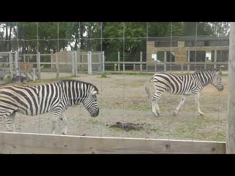 Twycross Zoo - Zebra