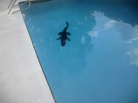 michael lauer alligator in my pool 2 youtube. Black Bedroom Furniture Sets. Home Design Ideas