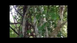 Download Mp3 Pohon Kayu Ular Papua