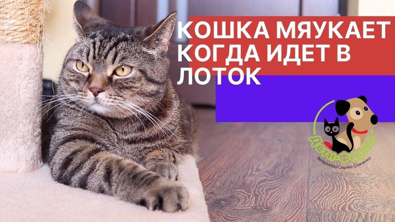 Почему кошка мяукает перед тем, как сходить в туалет?