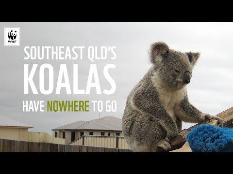 Nowhere To Go For Southeast Queensland's Koalas | WWF-Australia