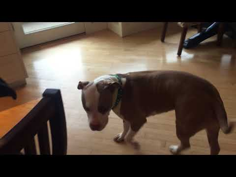 Found/Rescue Pitbull- Neutered male Age 2 years needs a home.  Salem Oregon.