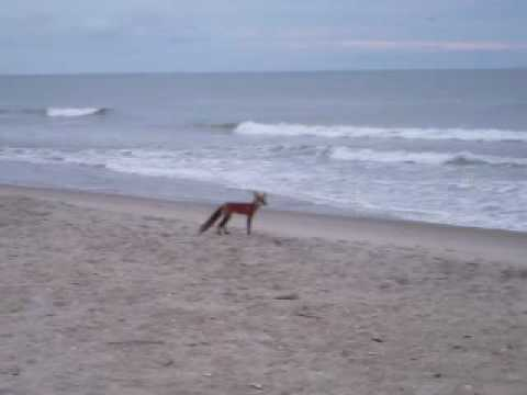 Red Fox At Bald Head Island