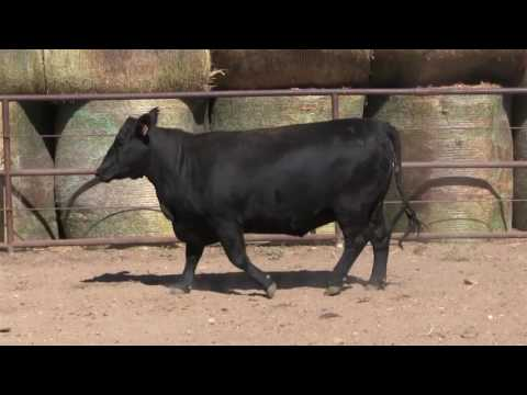 Thomas Angus Ranch Wyoming Replacement Females