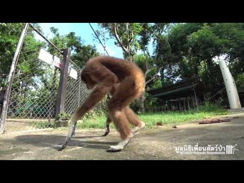 Singing and Swinging with Jub Jib the Rescued Gibbon