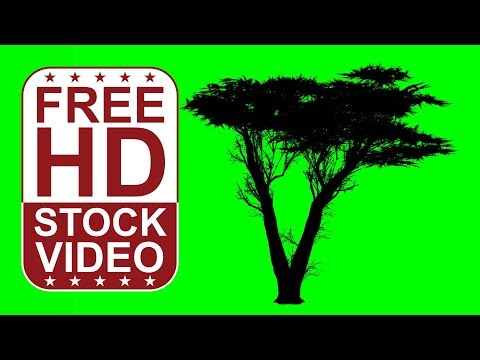 FREE HD video backgrounds – animated monterey cypress tree silhouette on green screen with random wi