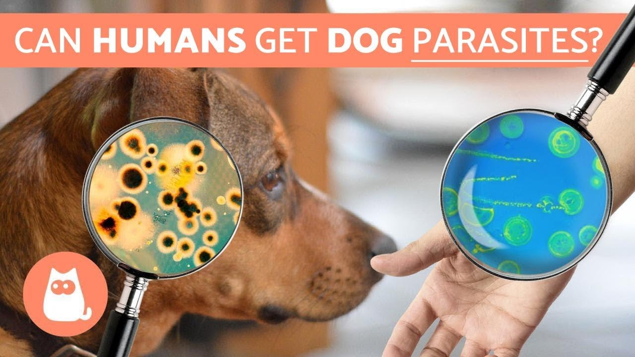 can humans get parasites from dogs zoonotic diseases youtube