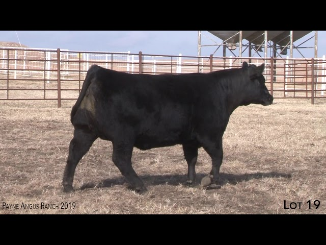 Payne Angus Ranch Lot 19