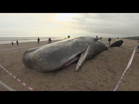 People flock to photograph three dead Sperm whales on UK bea