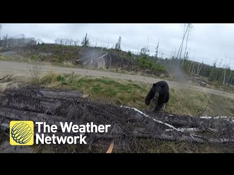 Bear charges hunter in Canada backcountry (1080P)