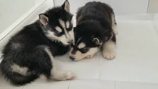 Husky Puppies From Birth to 2 Months