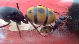 Camponotus fulvopilosus.