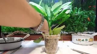Размножение Эхинодоруса .Посадка в стаканчики.
