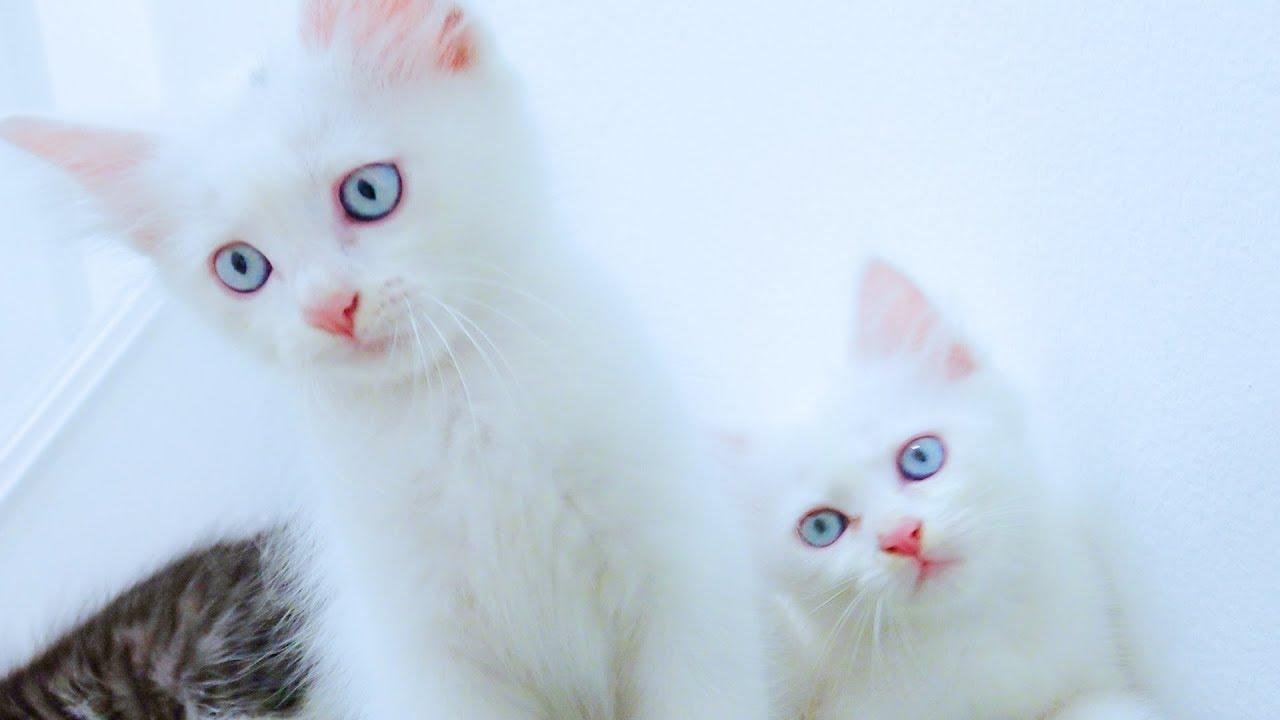 rửa mặt như mèo, chú mèo con - nhạc thiếu nhi vui nhộn sôi động