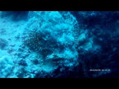 Titan Scorpionfish (endemic) Fathom Five Divers 3 Fingers Kauai Hawaii